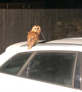 owl visitor